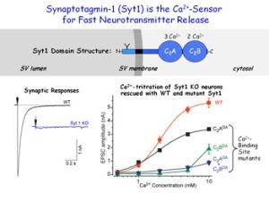 sinapsis tomas südhof