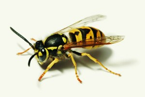 vespula-germanica-wikipedia1