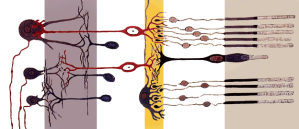 regeneracion nerviosa
