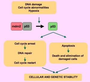 P53_pathways