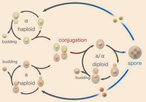 ciclo saccaromyces cerevisae
