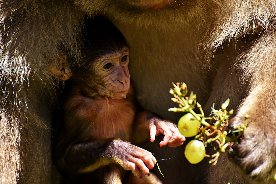 macaco OK