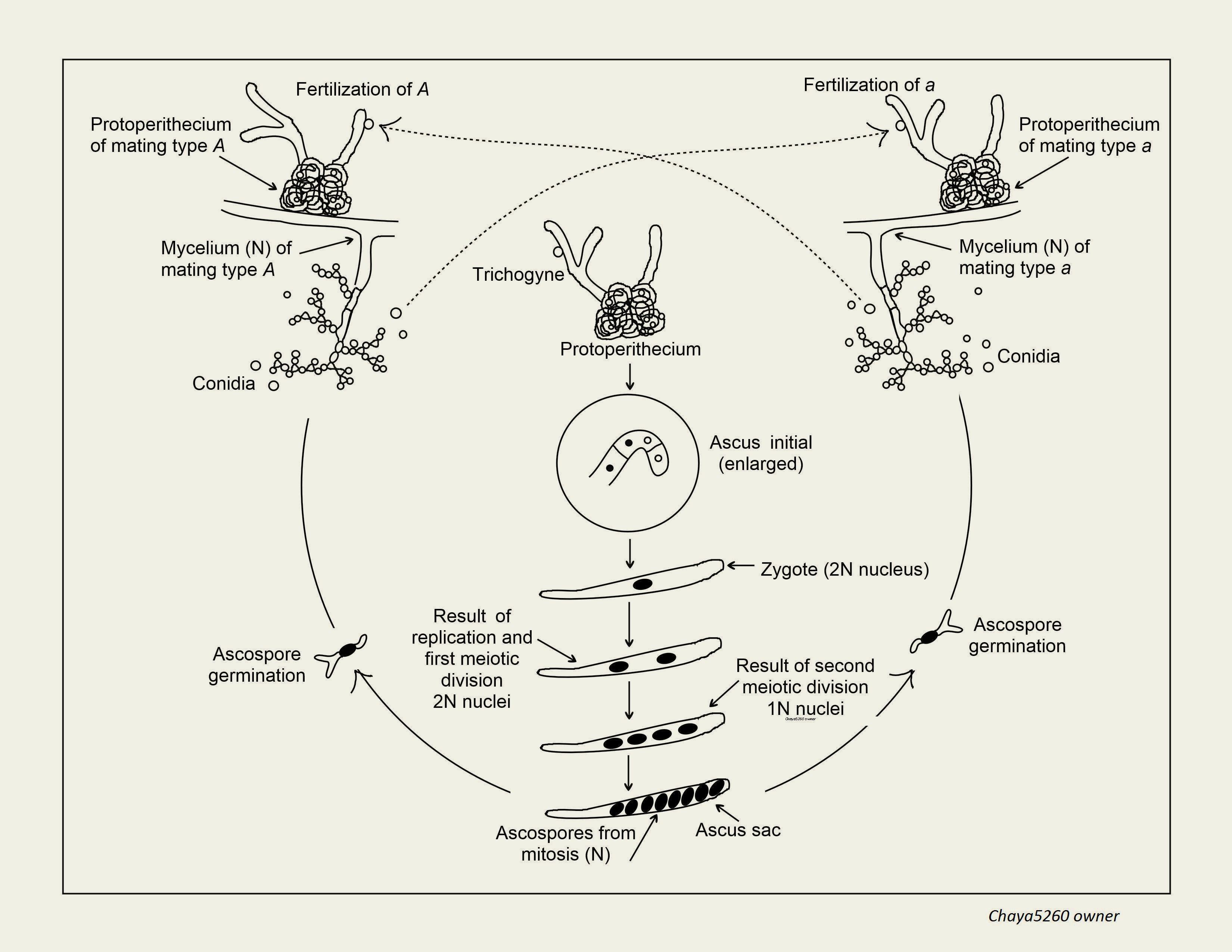 Ciclo neurospora