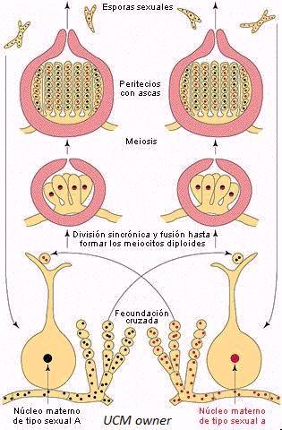 neurospora