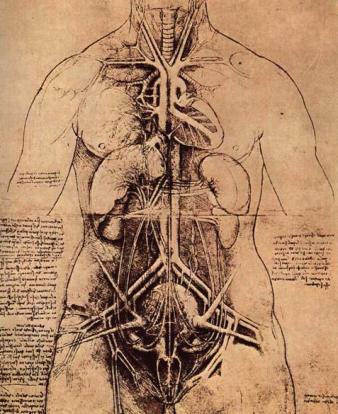 L organos internos