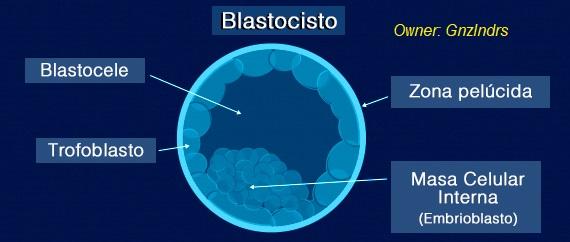 Celulas madre blastocisto