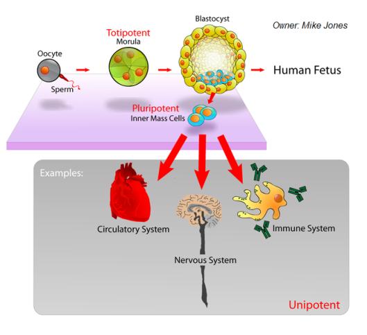 Celulas madre desarrollo