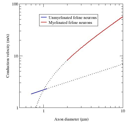 Conduction_velocity_and_myelination ok