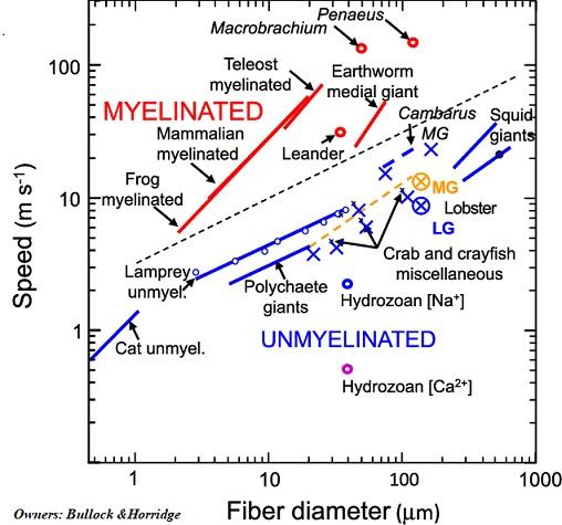 evolution myelin ok