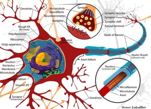 Neuron axon ok