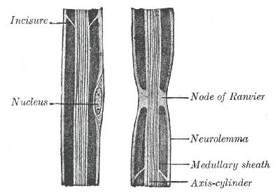 Nodule Ranvier